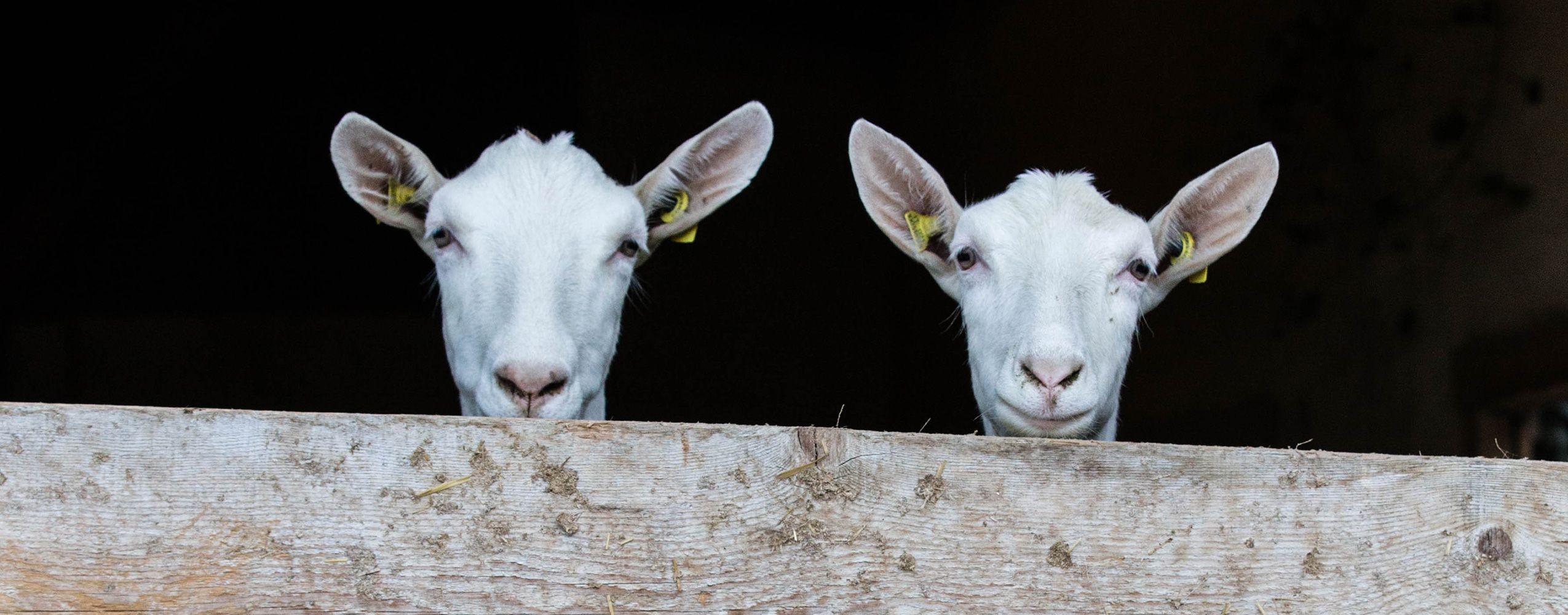 Hofkäserei Unteregger in Vals | Von der Ziege bis zum Käse